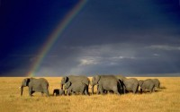 7024381 rainbow elephant herd